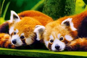 deux panda roux