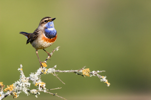 oiseau gorge bleue