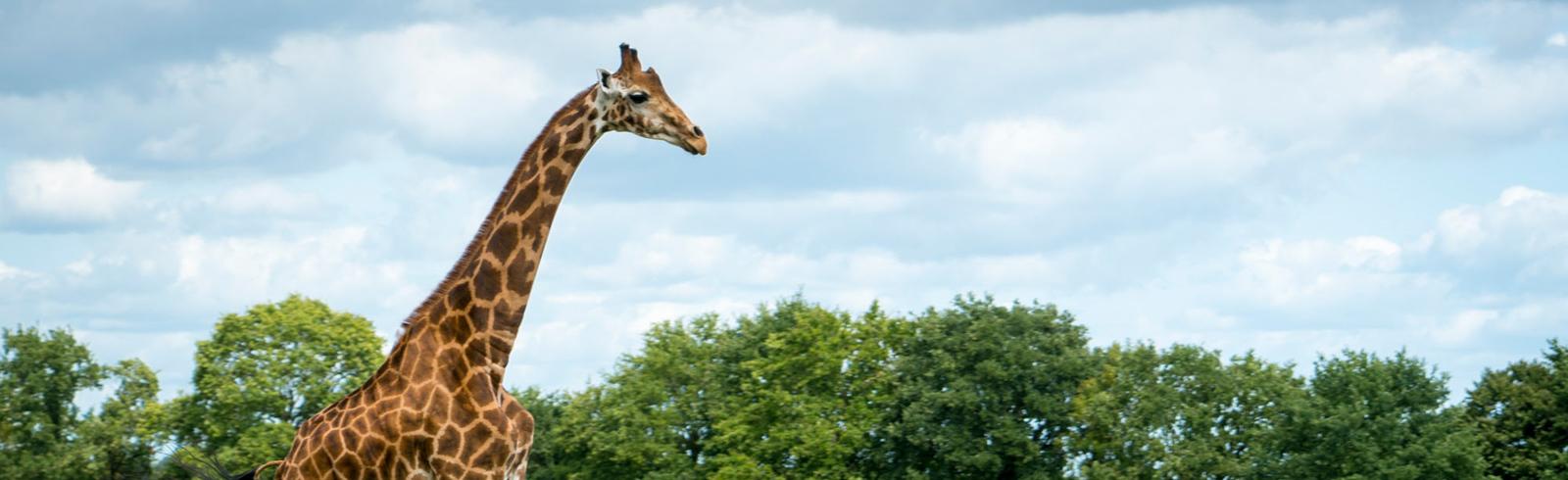 girafe parc sauvage branfere