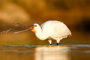 spatule blanche oiseau